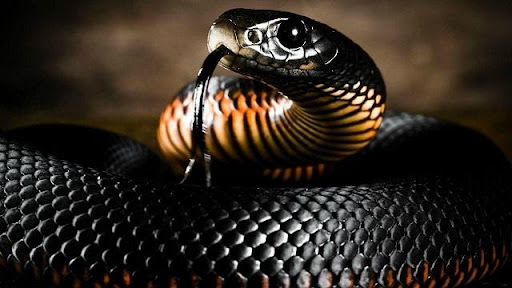 Mơ thấy rắn đen đánh con gì để săn lô thưởng lớn?